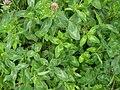 Trifolium pratense 0.0 R.jpg