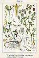 Trifolium spp Sturm36.jpg