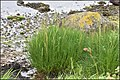 Triglochin maritimum plant (31).jpg