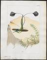 Trochilus mirabilis - 1820-1860 - Print - Iconographia Zoologica - Special Collections University of Amsterdam - UBA01 IZ19100415.tif