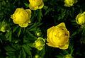 Trollius europaeus - flowers 03.jpg