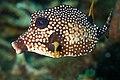 Trunkfish (8419840193).jpg
