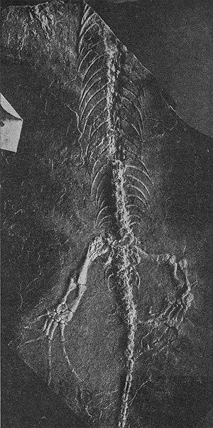 Tuditanidae - A 1908 photograph of a specimen of Tuditanus punctulatus.