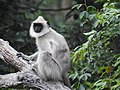 Tufted gray langur.jpg