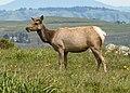 Tule Elk at Point Reyes National Seashore.jpg