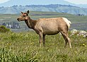 Tule Elk at Point Reyes National Seashore.jpg
