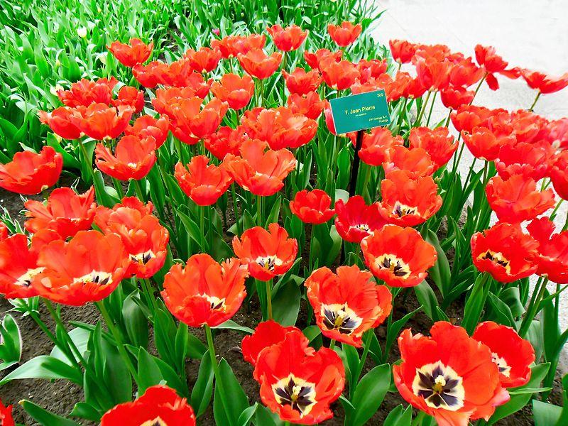 Tập  tin:Tulip Hà Lan 7.jpg