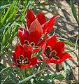 Tulipa-Sharonensis-ZE-5487 (cropped).jpg