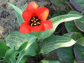 Tulipa kuschkensis