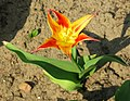Tulipa tschimganica cropped.jpg