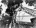 Twee giraffes, Bestanddeelnr 252-1425.jpg