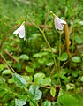 Twinflower (Linnaea borealis) - geograph.org.uk - 1149952.jpg
