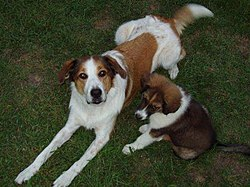 Two Farm Collies sm.JPG