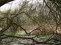 Umgefallene Bäume im Schwarzen Moor Ruschdahl Bremen.JPG