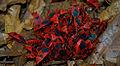 Unidentified Pyrrhocoridae by Dharani Prakash.jpg