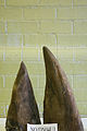 Unwrapped Rhino horn (4990185618).jpg