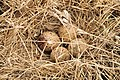 Upland Sandpiper Nest (12816252603).jpg