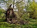 Uralter Baum auf Ziegenwerder in Frankfurt an der Oder.jpg