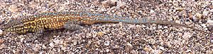 Common side-blotched lizard - Male common side-blotched lizard, with blue and yellow coloration and a characteristic dark blotch behind the forearm