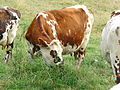 Vache normande blonde.JPG