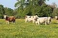 Vaches allée Pré Brus St Cyr Menthon 20.jpg