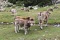 Vaques Aigüestortes i estany de Sant Maurici.jpg