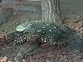 Varanus salvadorii Tropicario.JPG