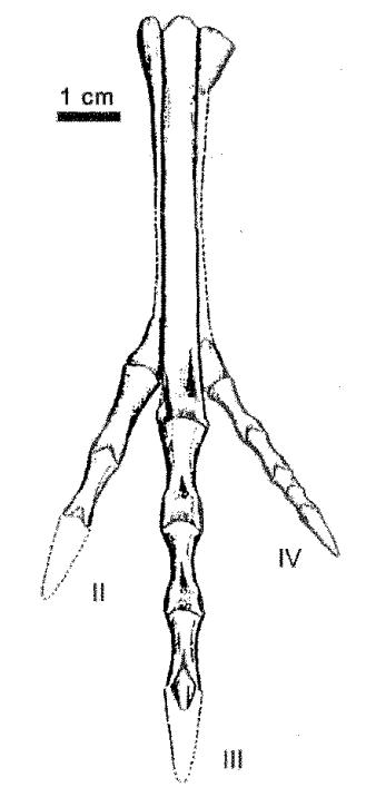 Velocisaurus holotype left foot