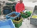 Velvet crabs - geograph.org.uk - 827537.jpg