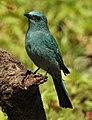 Verditer Flycatcher Eumyias thalassinus by Dr. Raju Kasambe DSCN2658 (3).jpg