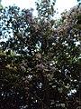 Vernonia arborea 08.JPG