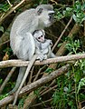 Vervet Monkeys (Chlorocebus pygerythrus) female with young ... (46575459684).jpg