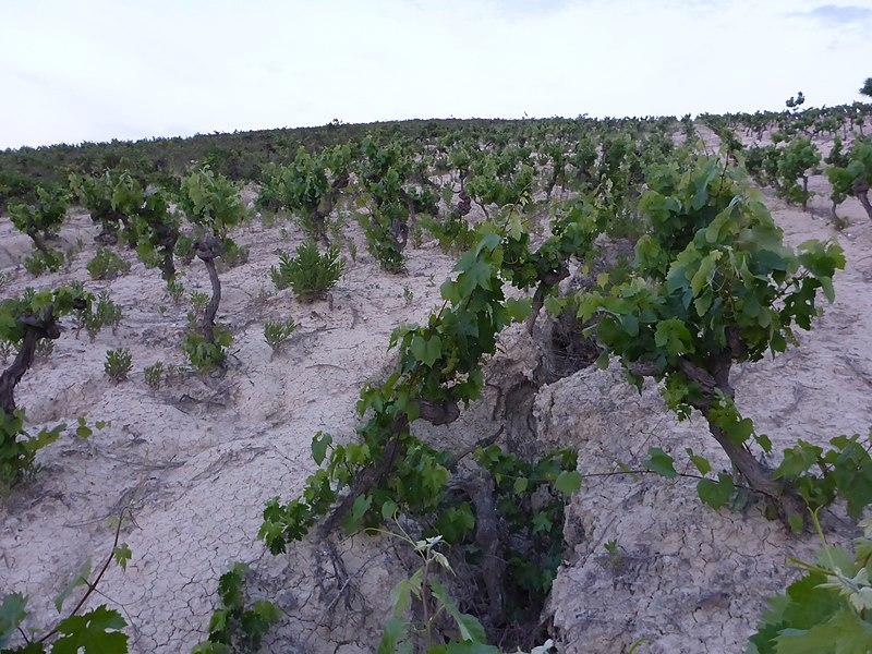 Albariza soil photo by El Pantera. Uploaded to Wikimedia Commons under CC-BY-SA-4.0
