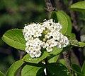 Viburnum burejaeticum.jpg