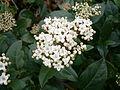 Viburnum tinus03.JPG