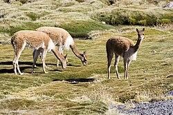 Vicuña Vigogne Lago Chungarà 4570m Chile Luca Galuzzi 2006.jpg