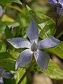 Vinca sardoa (flower).jpg