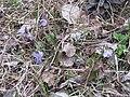 Viola canina Фиалка собачья IMG 3209.jpg