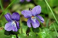 V. odorata, luktviol