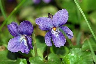 Viola odorata - Image: Viola odorata fg 01