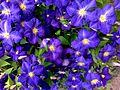 Violet blue Clematis flowers.jpg