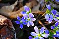 Violets on Bugline Trail - panoramio.jpg