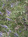 Vitex agnus-castus foliage.jpg