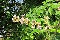 Vitex altissima - Peacock Chaste Tree flowers at Blathur 2014 (6).jpg