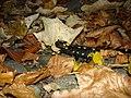 Vitosha Salamander 2.JPG