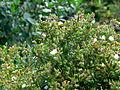 Volterraio - Blumen am Wegrand 1.jpg