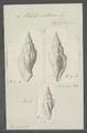 Voluta costaria - - Print - Iconographia Zoologica - Special Collections University of Amsterdam - UBAINV0274 087 04 0042.tif