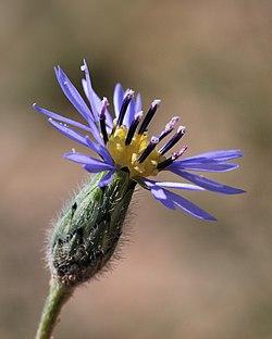 Volutaria crupinoides 1.jpg