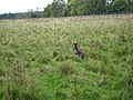Wallaby at Whipsnade. - geograph.org.uk - 69215.jpg