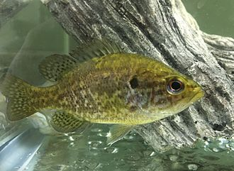 Warmouth - a juvenile specimen of Lepomis gulosus from Kickapoo State Park, east-central Illinois